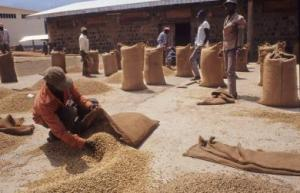 ARABICA Coffee Drying and Picking in OKU, Bui Division of Cameroon