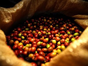 A ripe cherry is the secret to fine coffee